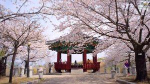 Ngắm hoa anh đào đẹp mà vắng người ở Hàn Quốc